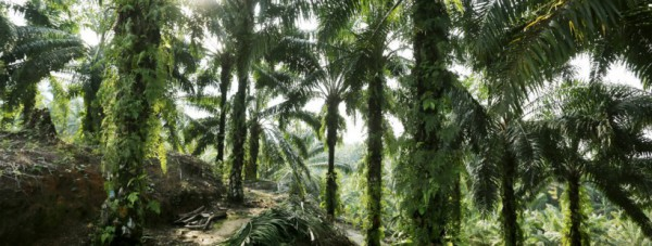Aceh-oil-palm-850x310