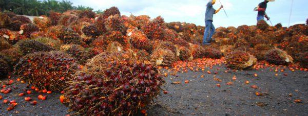 Palm-Oil-Fruit-Stabbed